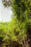 Bamboo, Erawan National Park