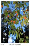 More Fall colors as the Kaki ripen