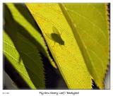 Fly shadow thru Leaf