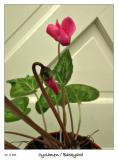 Cyclamen blossoming