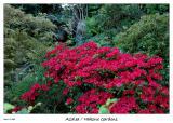 Red Azalea at Hakone Gardens