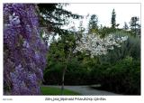 Wisteria and Cherry blossoms
