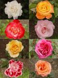 Botanical Rose Garden