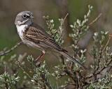 sparrows__buntings