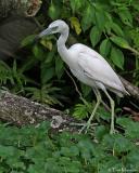 Little Blue Heron (juv)