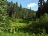 Quaking Aspen Meadow