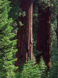 Sequoia Trees at the Freeman Grove
