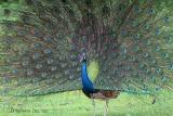 Indian Peacock.jpg