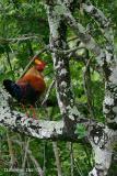 Sri Lanka Junglefowl_.jpg