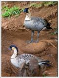 Nene - Hawaii State Bird