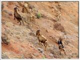 Mountain Goats in Waimea Canyon