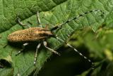 Agapanthes villosoviridescens
