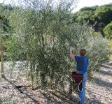Olive Pressing-November, 2004
