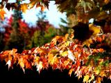 Maple Curtain