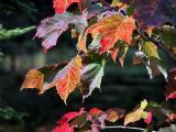 Maple Veins