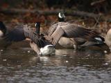 Cackling Goose or Lesser Canada Goose