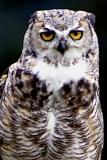 Img_7215Great Horned Owl.jpg