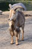 Ammotragus lervia Barbary Sheep Manenschaap