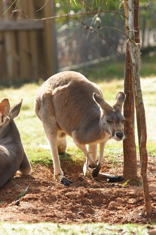 Kangaroos-0004r.jpg