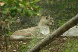 Cougar-0004.jpg