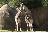 Giraffes-0008.jpg
