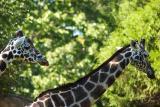 Giraffes-0009.jpg