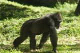 Gorillas-0001.jpg