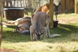 Kangaroos-0001.jpg