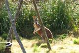 Kangaroos-0003.jpg