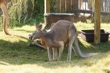 Kangaroos-0006.jpg