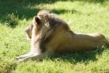 Lion-0001.jpg