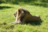 Lion-0002.jpg
