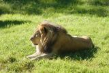 Lion-0003.jpg