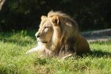 Lion-0007.jpg