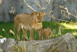 Lioness&Cubs-0007-after.jpg