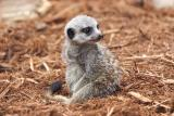Meercats-0005-after.jpg