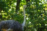 Ostrich-0002-after.jpg