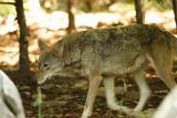RedWolves-0001-after.jpg