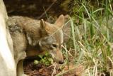 RedWolves-0004-after.jpg