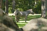 Zebras-0004-after.jpg
