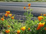 Arizona Spring Wildflowers