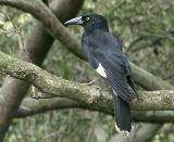 Currawong in mangrove