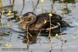 Little Grebe (immature)   Scientific name - Tachybaptus ruficollis   Habitat - Uncommon, in freshwater ponds or marshes. Dives when disturbed by intruders.