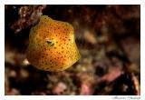 Peixe Cofre - Trunkfish