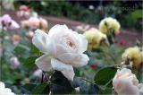 Crocus Rose in the garden