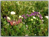 Wildflowers  On The Mojave Desert