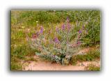 Mojave Desert Locoweed