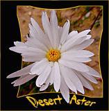 Desert White Aster