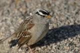 Seedeaters-Sparrows,Finches,Towhees,  Juncos,Grosbeaks,Buntings,Siskins.Saltators,Longspurs