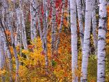 Arrowhead Birches2